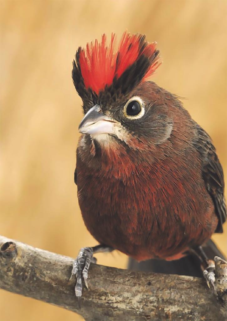 L'Araguira rougeâtre