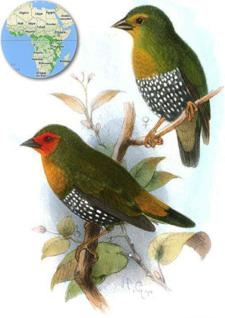 Sénégali vert, Astrild vert pointillé, ou Mandingue